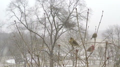 Close up of variety of Missouri winter birds during snow storm. Stock Footage