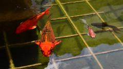 Close Up of Koi and Other Fish in a Fountain Stock Footage