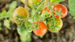 Stock Video Footage of Branch with tomatoes ripening, time lapse