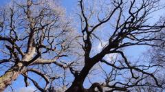 Old knobbly tree Stock Footage