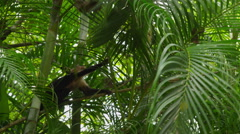 Capuchin Monkey climbing on palm branch, Manuel Antonio, Costa Rica Stock Footage
