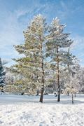Evergreen in the winter Stock Photos