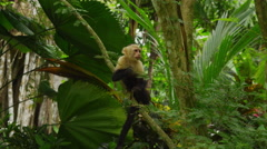 Capuchin Monkey sitting on branch eating, Manuel Antonio, Costa Rica - stock footage