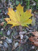 Yellow fallen leaf on the autumn ground Stock Photos