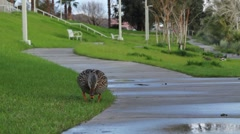 A Duck in a City Park Stock Footage