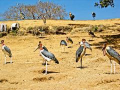 Marabou Stork - stock photo