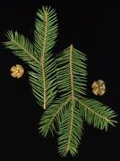 Spruce runes - stock photo