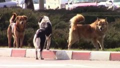 Urban stray dogs - stock footage