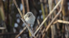 Chiffchaff (Phylloscophus collybita) on a reed Stock Footage