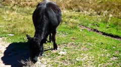 Black Angus Cow Grazing Stock Footage