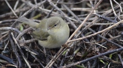 Chiffchaff (Phylloscopus collybita) on a branch Stock Footage