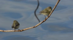 Chiffchaff (Phylloscophus collybita) on a brunch over the water Stock Footage