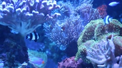Blue Tang and Clownfish in Aquarium Stock Footage