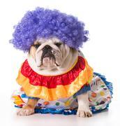 Dog clown Stock Photos