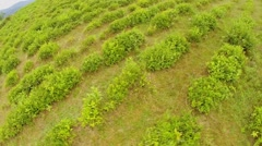 Tea bushes on mountain field at summer day. Aerial view Stock Footage