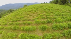 Woman walks by field with tea bushes on mountain slope Stock Footage