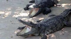 Big crocodiles with open mouths Stock Footage