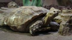 Big turtle in zoological garden Stock Footage