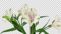Time-lapse of opening white peruvian lily with ALPHA Stock Footage