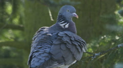Common Wood Pigeon is cleaning himself Stock Footage