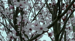 Close up of Cherry Blossoms on overcast day Stock Footage