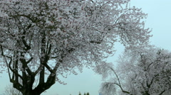 Cherry Blossoms trees on overcast day Stock Footage