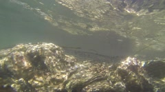 Underwater Shot of Commercial Oyster Harvest Stock Footage