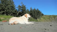 Yellow Lab, Dog On Sunny Beach Stock Footage