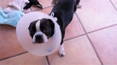 Cute Boston Terrier Puppy Dog Wearing a Cone Stock Footage