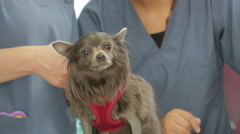 Cute Chihuahua Dog Veterinary Doctor Visit, Adorable ( Shorter 14 sec Version ) Stock Footage