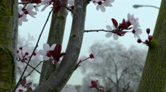 Extreme close up of Cherry Blossoms on overcast day Stock Footage