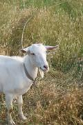 White Goat in Rye - stock photo