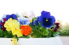 Stock Photo of White Pot with Viola Pansy Flowers, closeup