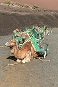 Kamele im Nationalpark Timanfaya liegen auf der Erde - stock photo