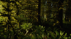 View of trees covered with moss in Hoh Rainforest Stock Footage