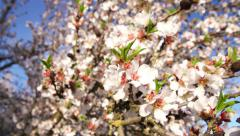 Almond Blossoms Floats into Focus Stock Footage