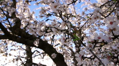 Floating Among the Almond Blossoms Stock Footage