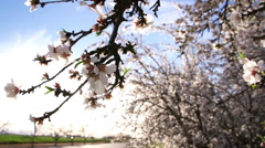 Low Hanging Branch of Almond Blossoms Stock Footage