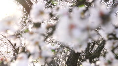 Rack Focus on Almond Blossoms - stock footage
