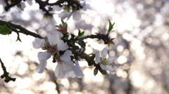 Rack Focus on Almond Blossoms 02 Stock Footage