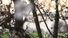 Pan Shot onto a group of Almond Blossoms Stock Footage
