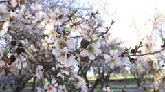 Almond Blossoms on a Tree Branch - stock footage