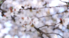 Stock Video Footage of Pan Shot onto a group of Almond Blossoms 02