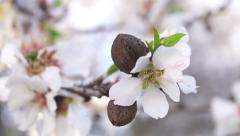 Pan Shot onto Almond Blossoms and Almond in Shell Stock Footage