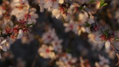 Slow Pan onto Almond Blossoms in Full Bloom - stock footage