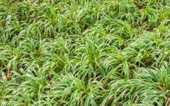 Globe Fringe Rush ,Grass-Like Fimbristylis, Hoorah Grass Stock Photos