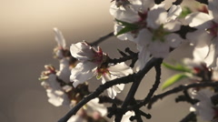 Floating over Almond Blossoms - stock footage
