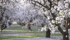 Almond Crops and Almond Blossoms Stock Footage