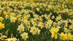 Field of daffodil flowers Stock Footage