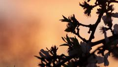 Almond Blossoms in Silhouette at Sunset Stock Footage